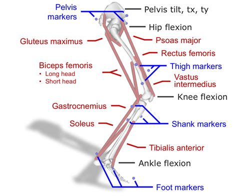 swing documentation part i leg muscle force estimation in swing opensim