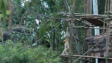 monkey swinging on a vine monkey swinging on vines youtube