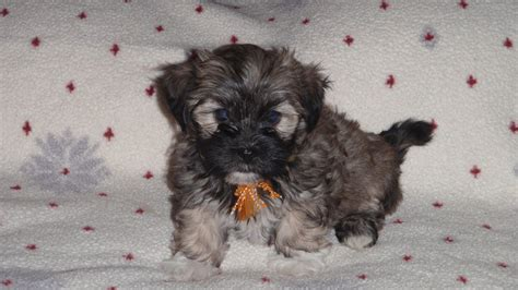 havanese puppies for sale alabama southern silky terriers havanese puppies for sale in