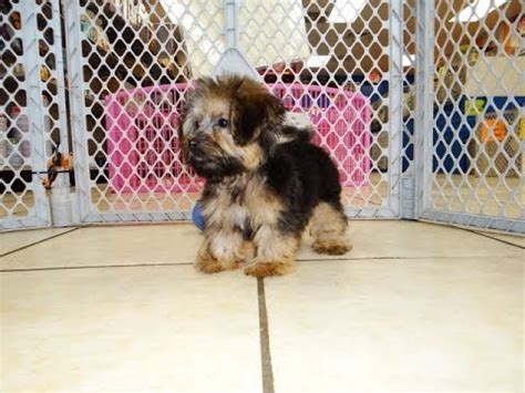 yorkie breeders in tn yorkie poo puppies dogs for sale in tennessee tn 19breeders