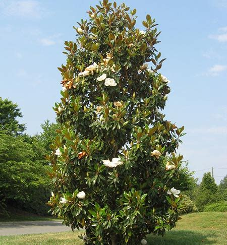 southern magnolia for sale fast growing trees