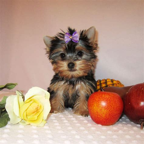 adopt a yorkie puppy for free yorkie puppy keisha for urgent free adoption home