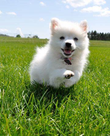alaska puppies alaska a miniature american eskimo fur babies