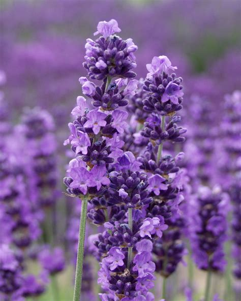 is lavender a perennial lavender plant deals on 1001 blocks