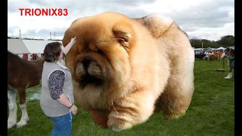 imagenes sorprendentes de animales gigantes razas de perros grandes reales que son unicas en el mundo
