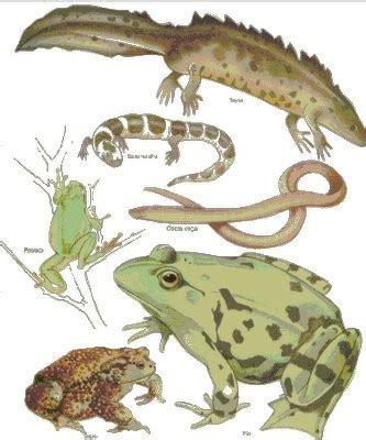 imagenes animales anfibios animales anfibios