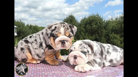 tri color bulldog puppies for sale list of synonyms and antonyms of the word merle bulldog