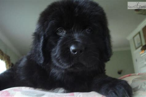 newfoundland puppies for sale near me newfoundland for sale for 1 000 near indianapolis indiana b96a7667 25d1