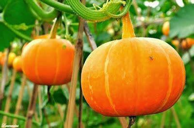 Benih Bibit Semangka Inul Repack Cap Panah Merah manfaat dan cara budidaya labu kuning yang baik dan benar lmga agro toko pertanian