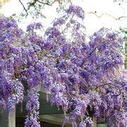 come far fiorire il glicine gelsomino di notte solanum jasminoides solanum