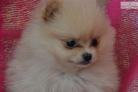 pomeranian personality traits meet a pomeranian puppy for sale for 800 sweep personality