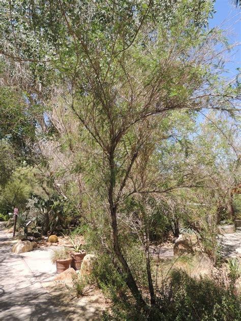 Palm Desert Botanical Gardens Plantfiles Pictures Arizona Kidneywood Palo Dulce Eysenhardtia Orthocarpa By Palmbob