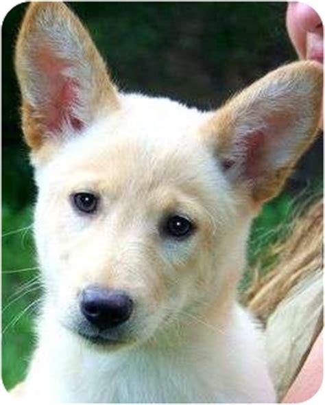 puppy ri rosie beautiful white shepherd adopted puppy wakefield ri german shepherd