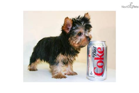 10 lb yorkie terrier yorkie puppy for sale near columbus ohio f061c155 e8e1