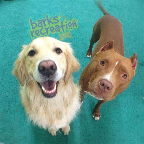 pitbull cross golden retriever pin pitbull golden retriever mix puppies white labrador puppy on