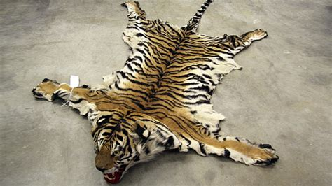 tiger skin rug with image gallery tiger pelt