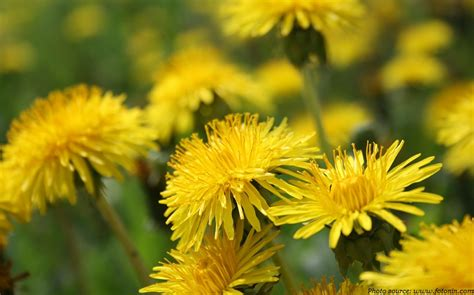 dandelion facts interesting facts about dandelions just facts