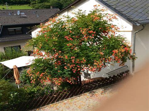 obst und garten 5172 trompetenblume grandiflora csis grandiflora