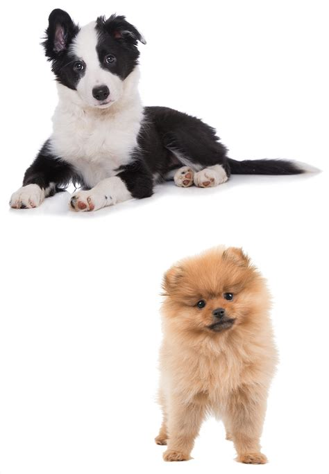 pomeranian border collie mix a complete guide to the border collie pomeranian mix