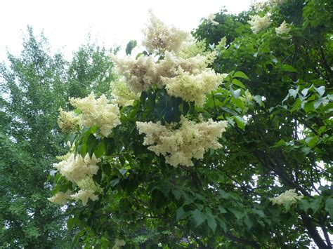 lilac tree summer snow japanese tree lilac pictures to pin on