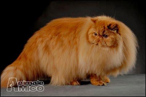 gatti persiani vendita persiano da privato a cosenza gatti persiano in