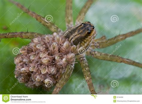 Garden Spider Spiderlings Wolf Spider With Spiderlings On Its Back Royalty Free