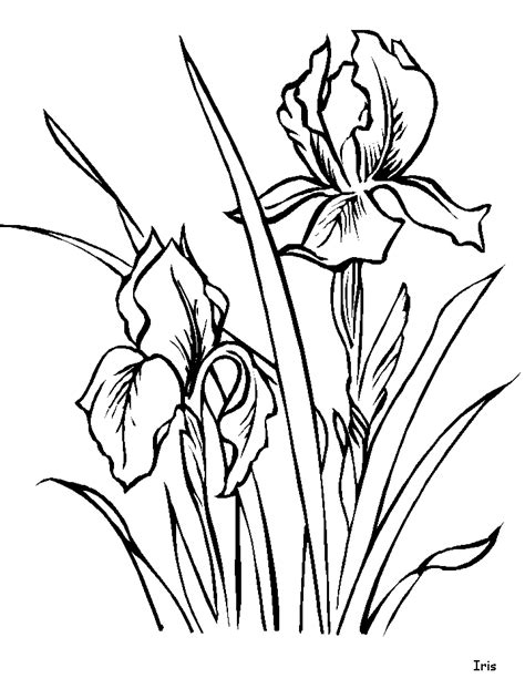 iris flower template iris coloring pages and printable