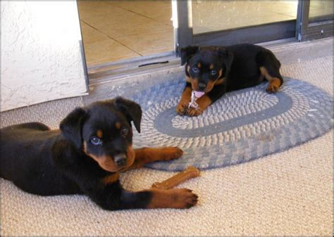 hip problems in rottweilers common health and genetic disorders in rottweilers pethelpful