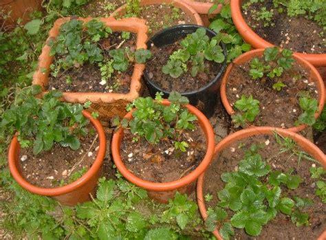 concime per fragole in vaso marzo le fragole cominciano a fiorire l orto sul balcone
