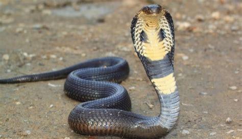 la asignacion cobra la canasta 2016 informaci 243 n y particularidades de la cobra real