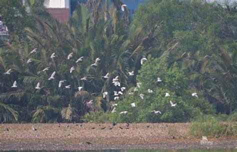 Tempat Makan Burung Liar muara angke surganya burung liar di jakarta mongabay co id