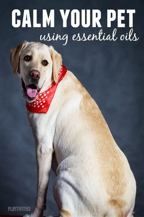 essential oils to calm dogs 77 best images about pets on itchy and lavender