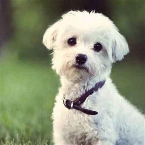 white puppys small white breeds