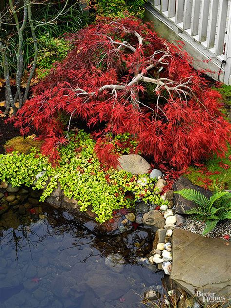 japanese maple tree leaves photosynthesis all about japanese maples