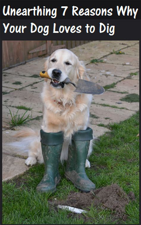 Why Do Dogs Dig In The by Unearthing Seven Surprising Reasons Why Dogs Dig Daily