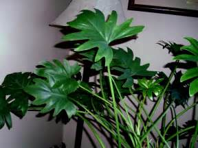 pin big leaf house plants pictures on pinterest