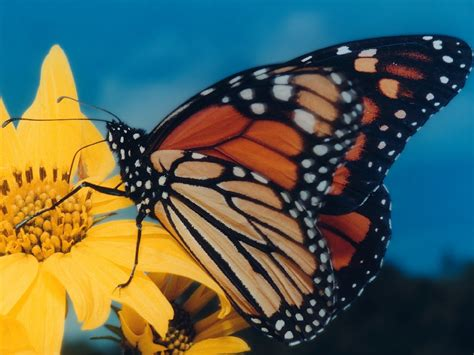 monarch butterfly monarch butterflies wallpaper 604268 fanpop