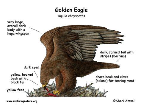 Golden Eagle Diagram Of Body Parts