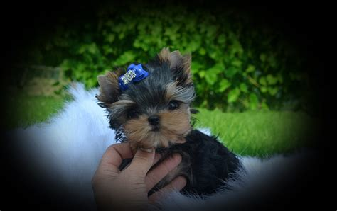 baby doll yorkies the gallery for gt baby yorkies boys