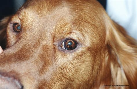 golden retriever eye discharge vetvine pigmented masses in anterior chamber