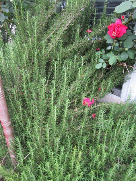 deer resistant climbing plants drought tolerant plants for central s