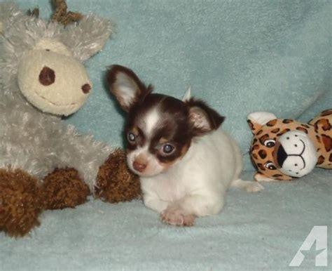 puppies for sale brandon fl gardenjewel s tiny applehead chihuahua puppies for sale in brandon florida classified