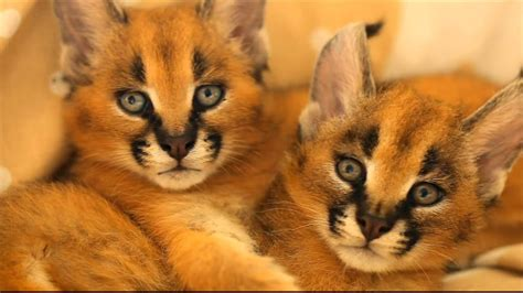 caracal cubs disney siamese cat song youtube
