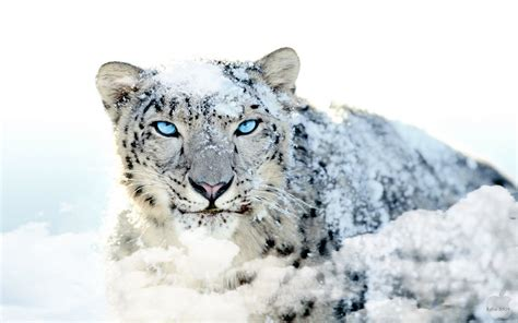 wallpaper mac leopard hd wallpapers box snow leopard mac os x hd wallpapers