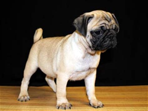 riverhill pugs akc pug standard riverhillpugs 169 2017 apricot black and fawn akc pug puppies