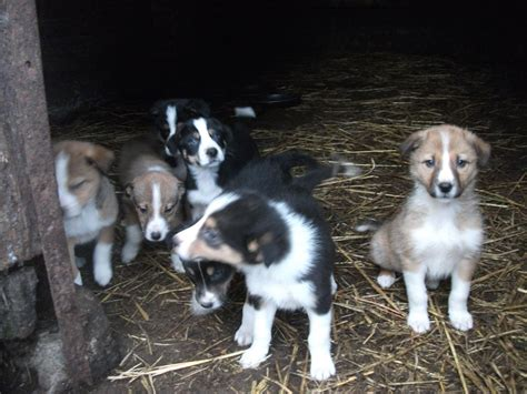 sheepdog puppies for sale collie sheepdog puppies for sale llanidloes powys pets4homes