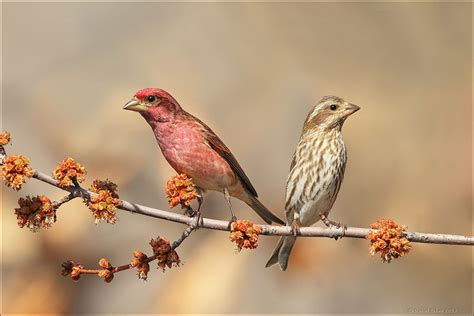 Backyard Bird Count Compare Purple Finch And House Finch Birdwatching