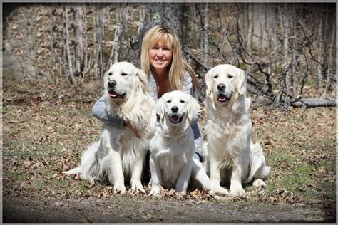 golden retriever breeders ontario american golden retriever breeders in ontario dogs in our photo