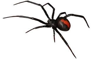 the world s 14 most dangerous venomous spiders you