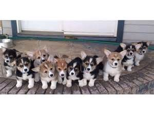 pembroke corgi puppies for sale best 20 corgi puppies for sale ideas on corgi dogs for sale small puppy